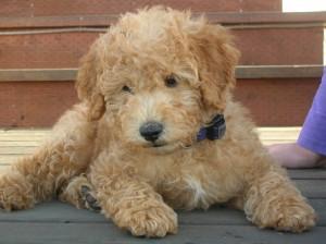 Ruben as a puppy